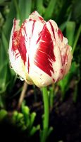 Tulip II by BlueAnomiS