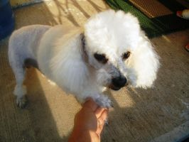 Dog HairCut Pompones 2 by marp72