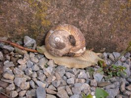 Roman Snail by Lengels-Stock