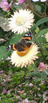 Red Admiral by CultCartoon