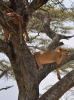 lions dont climb trees by jynto