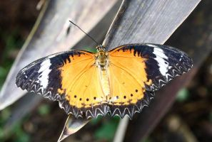 butterfly 6 by NickiStock