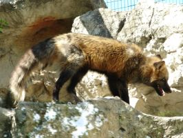 North American Red Fox by FantasyStock