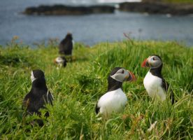 a puffin party by Blue-eyed-Kelpie