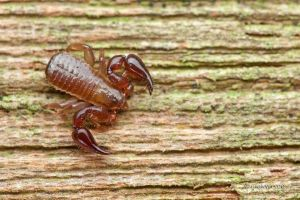 Pseudoscorpion by melvynyeo