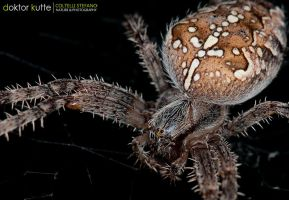 November Spider by Stefano-Coltelli