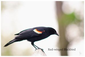 Red-winged Blackbird by Jack-Nobre