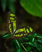 Butterfly Stock 07 by NellyGraceNG