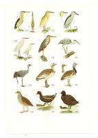 Antique birds print 12 by OMEGA86