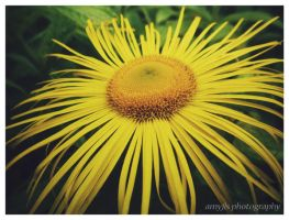 The Yellow Flower by amyjls