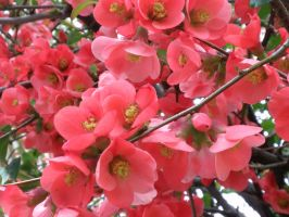 Flowering Quince by davincipoppalag