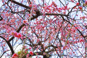 Plum blossoms 2 by juju--juju
