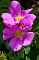 Wild roses by mikesplanes