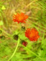 Wildflower Indian Paintbrush by mmad-sscientist