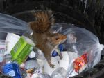 Squirrel in the Trash by pyrohound13