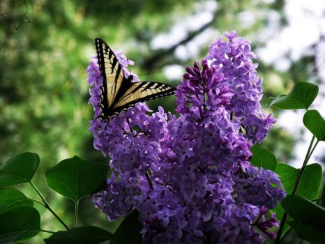 Lilacs and Butterflies by AntoinetteLeChat
