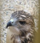 Young Red-Tailed Hawk 2a by Windthin