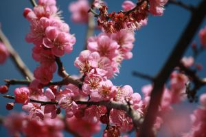 cherry blossom by deszcz718