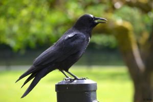 American Crow by clairestclara