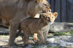 Lion cub with mother by Tigerlover4
