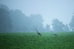 Sandhill Cranes and Mist by LakeFX