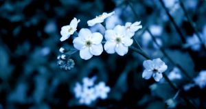 Forget Me Not II by angelicque
