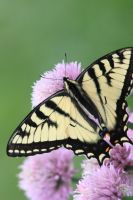 another beautiful swallowtail by bydandphotography