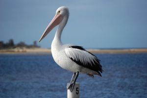 The Australian Pelican by Psittacidae13