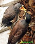 hungry myna chick by kumarvijay1708