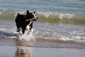 Border Collie Stock by Prinzess-Stock