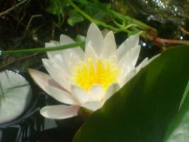 second waterlily in my pond 1 by ingeline-art
