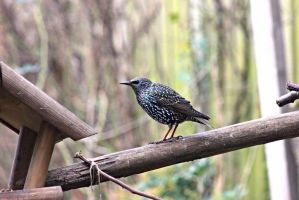 Starling by JetteReitsma