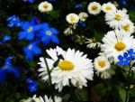 blue and white flowers by rockmylife