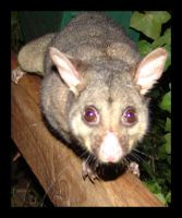 Another possum by yepyepyep