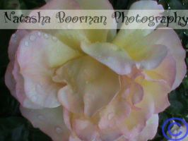 water drop on a rose by tazy01