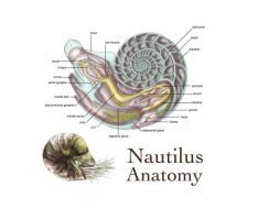 Nautilus Anatomy by bigredsharks