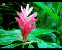 Flower by malshan
