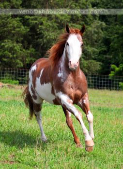 red roan overo paint horse 1 by venomxbaby