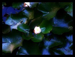 Water lilly by Psycho-Kuscheldecke
