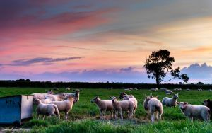 The sheep keep bleating by LordLJCornellPhotos