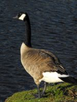 Canadian Geese IV by Photos-By-Michelle