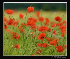 poppies by bracketting94