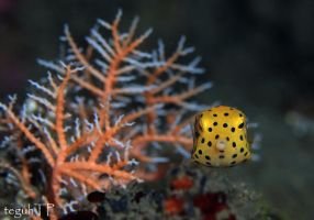 lil yellow boxfish by aquanauts74