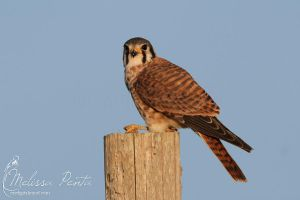 Kestrel by mydigitalmind