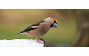A hawfinch portrait. by Rajmund67