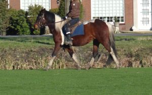 Misty - Bay Tobiano Mare - Riding Trott by Horselover60-Stock