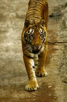Sumatran 'Cat' by ibnuyahya