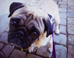 Tales of Sally the Pug by IkariPhotography
