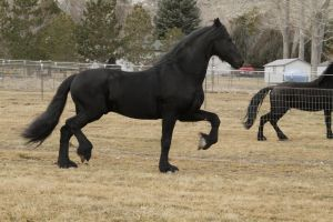 Friesian 003 by Notorious-Stock