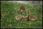 Goslings by crazyeddy721